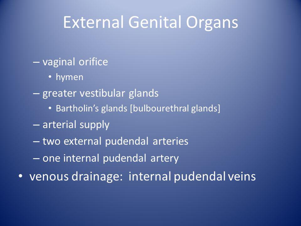 External Genital Organs – vaginal orifice hymen – greater vestibular glands Bartholin's glands [bulbourethral glands] – arterial supply – two external pudendal arteries – one internal pudendal artery venous drainage: internal pudendal veins