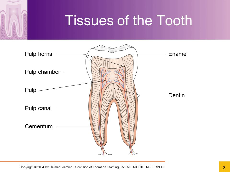 Copyright © 2004 by Delmar Learning, a division of Thomson Learning, Inc. ALL RIGHTS RESERVED. 3 Tissues of the Tooth Pulp horns Pulp chamber Pulp Pul