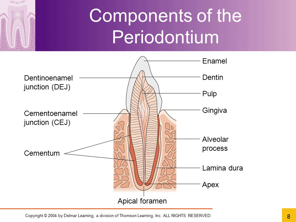 Copyright © 2004 by Delmar Learning, a division of Thomson Learning, Inc. ALL RIGHTS RESERVED. 8 Components of the Periodontium Apex Dentinoenamel jun