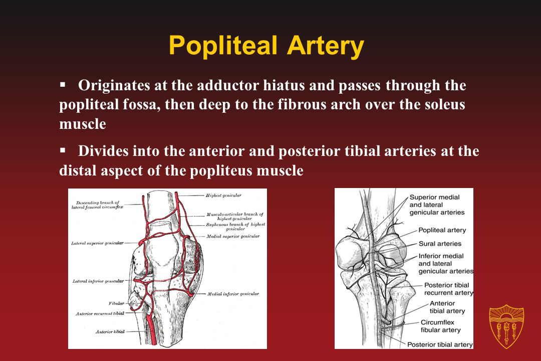 Popliteal Artery  Originates at the adductor hiatus and passes through the popliteal fossa, then deep to the fibrous arch over the soleus muscle  Di
