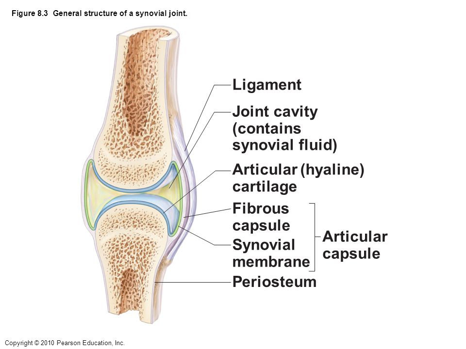 Copyright © 2010 Pearson Education, Inc. Figure 8.3 General structure of a synovial joint. Periosteum Ligament Fibrous capsule Synovial membrane Joint