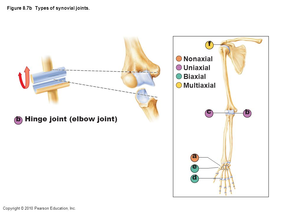 Copyright © 2010 Pearson Education, Inc. Figure 8.7b Types of synovial joints. b Hinge joint (elbow joint) a b c d e f Nonaxial Uniaxial Biaxial Multi