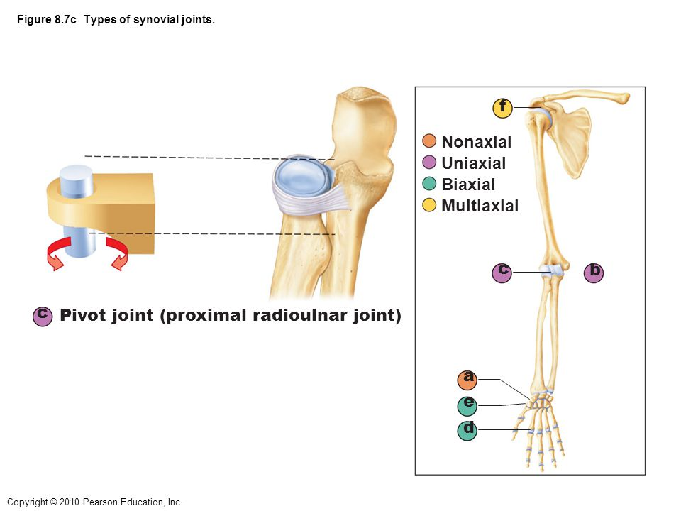 Copyright © 2010 Pearson Education, Inc. Figure 8.7c Types of synovial joints. c Pivot joint (proximal radioulnar joint) a b c d e f Nonaxial Uniaxial