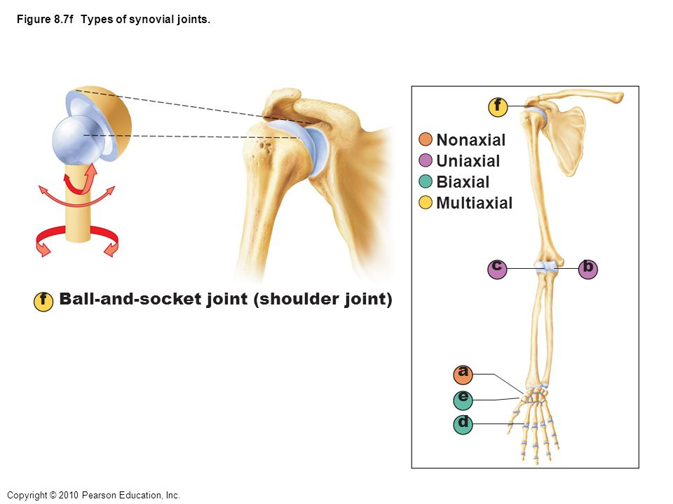 Copyright © 2010 Pearson Education, Inc. Figure 8.7f Types of synovial joints. f Ball-and-socket joint (shoulder joint) a b c d e f Nonaxial Uniaxial