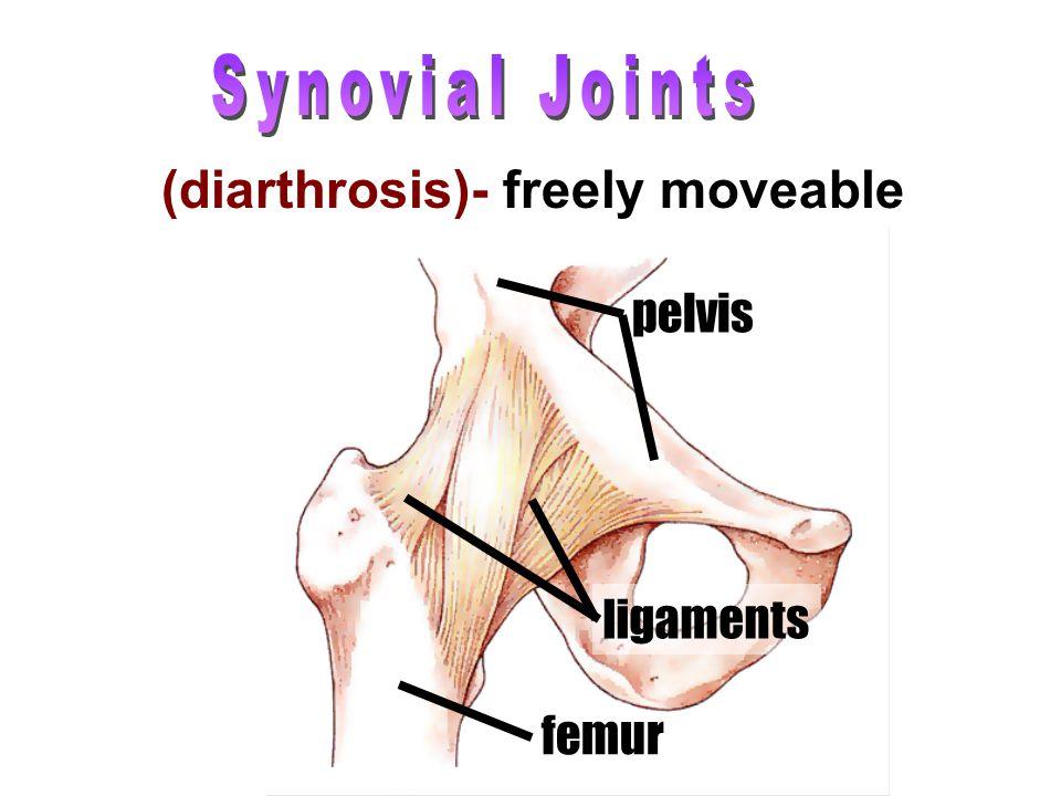 femur ligaments pelvis (diarthrosis)- freely moveable