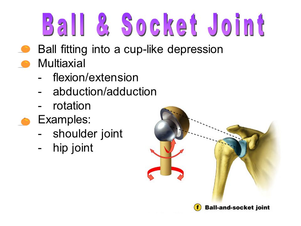 Ball fitting into a cup-like depression Multiaxial -flexion/extension -abduction/adduction -rotation Examples: -shoulder joint -hip joint