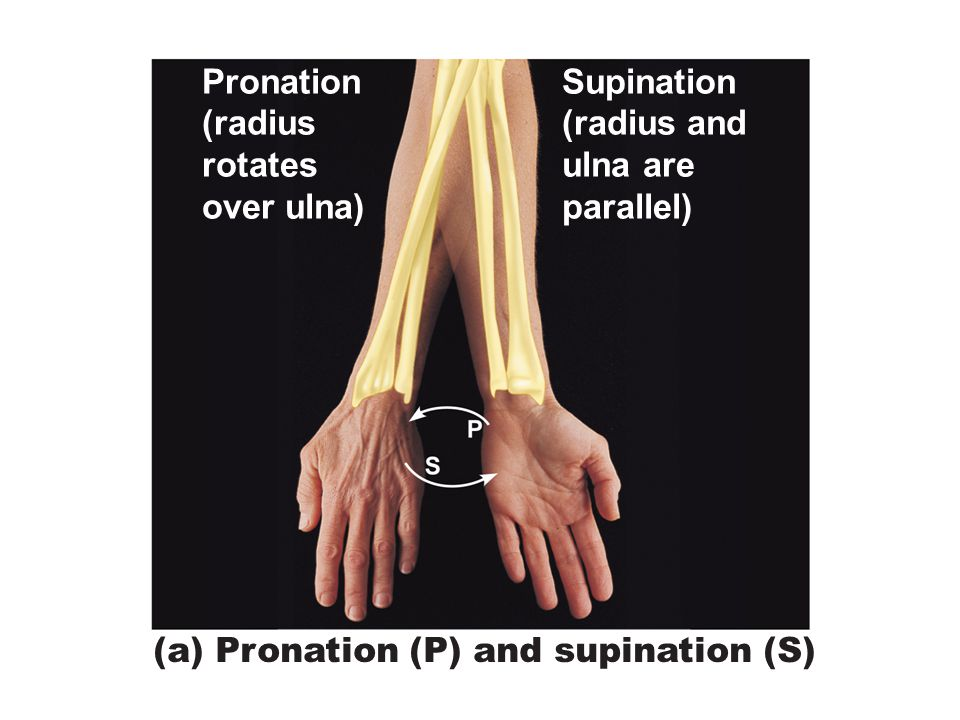 Figure 8.6a Special body movements. Supination (radius and ulna are parallel) (a) Pronation (P) and supination (S) Pronation (radius rotates over ulna