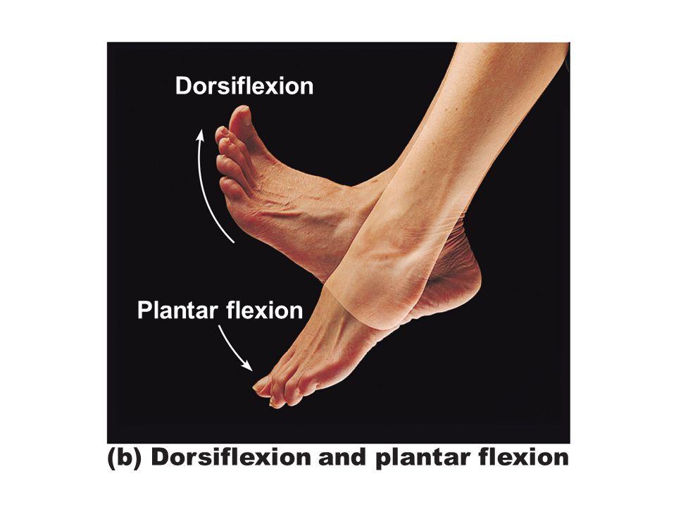 Figure 8.6b Special body movements. Dorsiflexion Plantar flexion (b) Dorsiflexion and plantar flexion