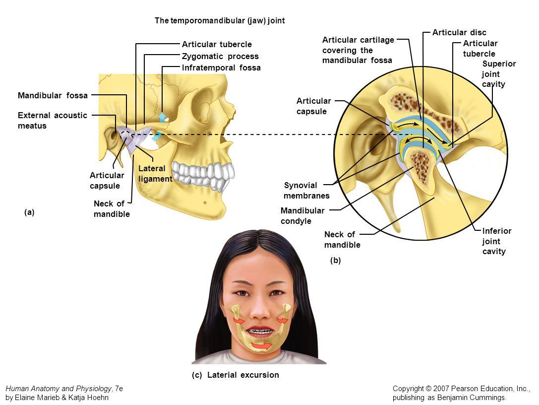 Human Anatomy and Physiology, 7e by Elaine Marieb & Katja Hoehn Copyright © 2007 Pearson Education, Inc., publishing as Benjamin Cummings. The temporo