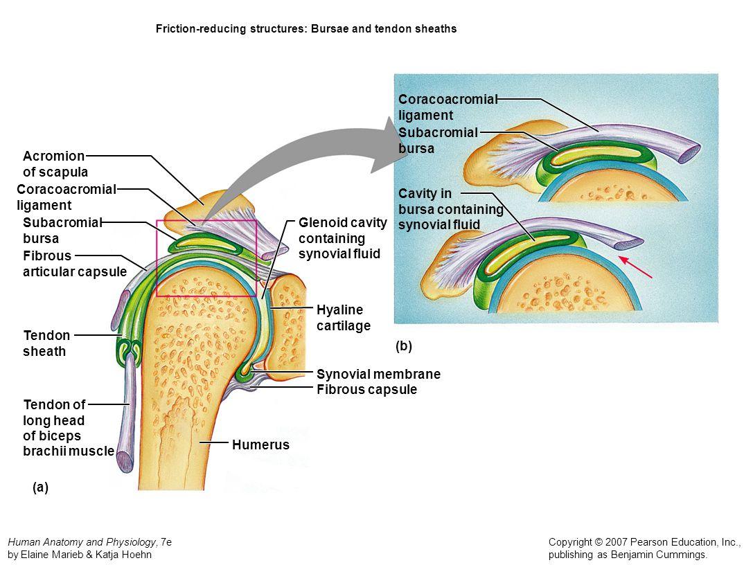 Human Anatomy and Physiology, 7e by Elaine Marieb & Katja Hoehn Copyright © 2007 Pearson Education, Inc., publishing as Benjamin Cummings. Friction-re