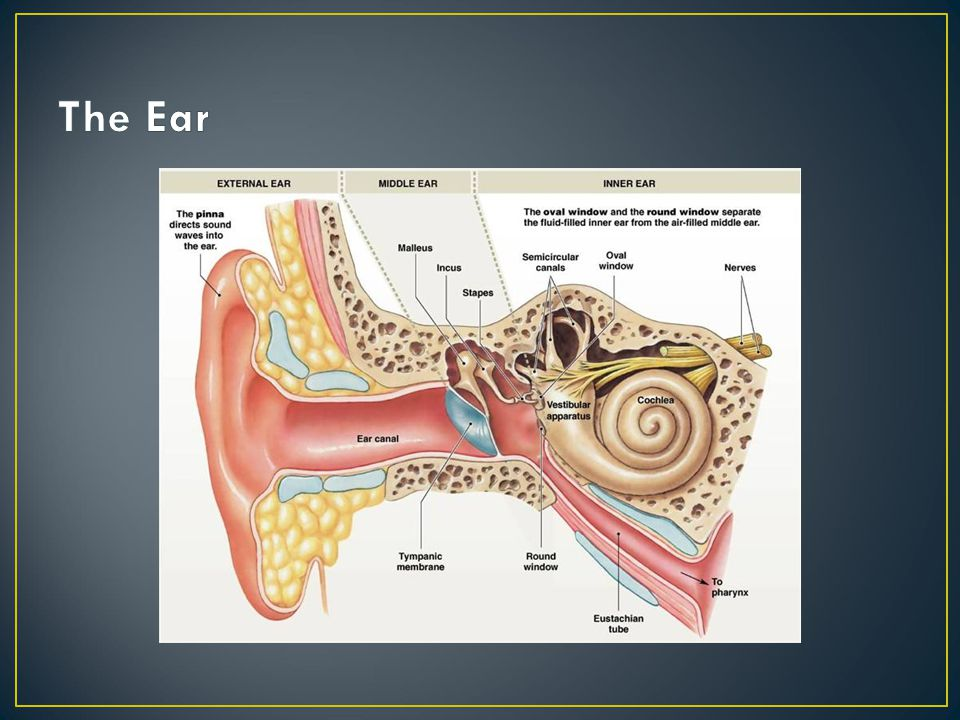 Each ampulla houses a crista ampularis which is the sense organ for movement Houses the vestibular organ Ampulla- expanded region of the semicircular canals Utricle and Saccule- houses the otolithic organs of the vestibular system Communicate via the endolymphatic duct