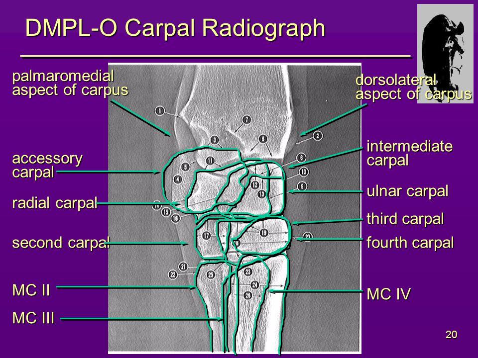 20 DMPL-O Carpal Radiograph radial carpal ulnar carpal intermediatecarpal second carpal third carpal fourth carpal MC II MC III MC IV palmaromedial aspect of carpus dorsolateral accessorycarpal