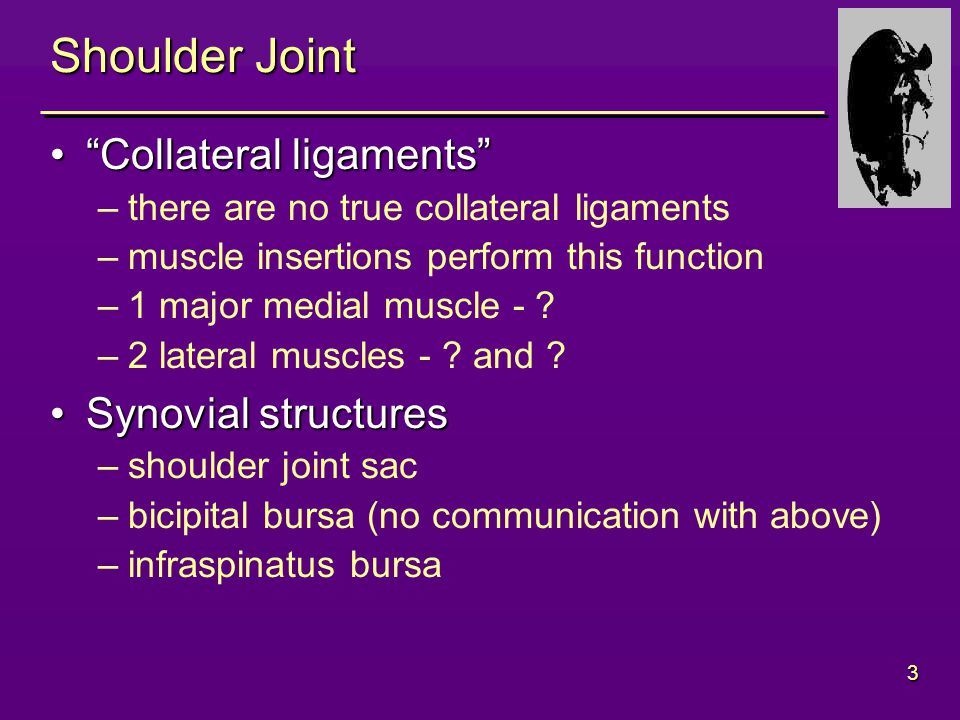 3 Shoulder Joint Collateral ligaments Collateral ligaments –there are no true collateral ligaments –muscle insertions perform this function –1 major medial muscle - .