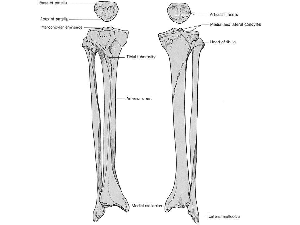 2 convex surfaces (femur) articulating with 2 concave surfaces (tibia) Poor bony stability Stability increased with cartilage and ligaments Up to 80% of knee stability comes from muscles