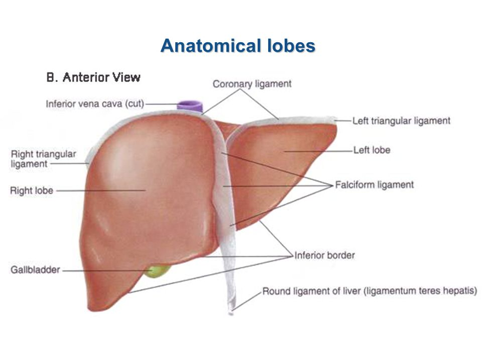 Anatomical lobes