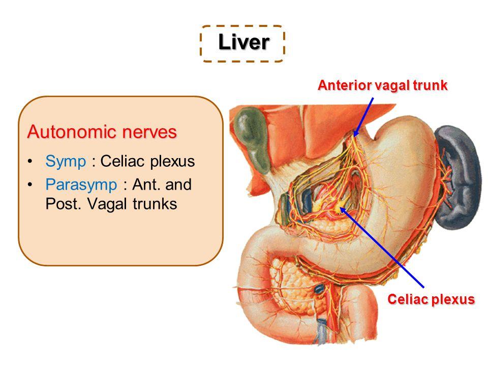 Autonomic nerves Symp : Celiac plexus Parasymp : Ant.