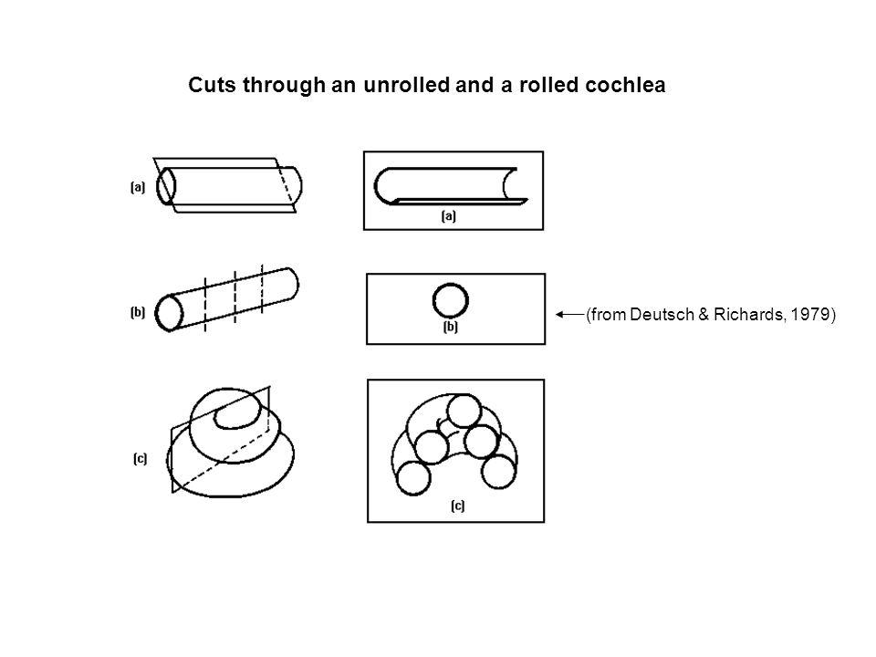 Cut through an unrolled cochlea (from Deutsch & Richards, 1979)