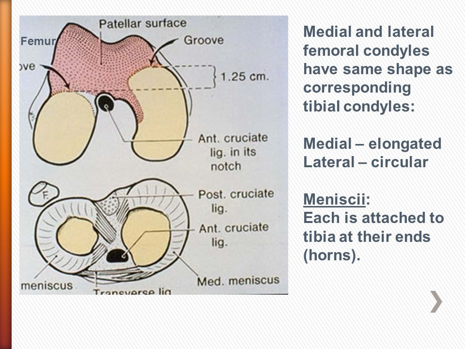 Medial and lateral femoral condyles have same shape as corresponding tibial condyles: Medial – elongated Lateral – circular Meniscii: Each is attached