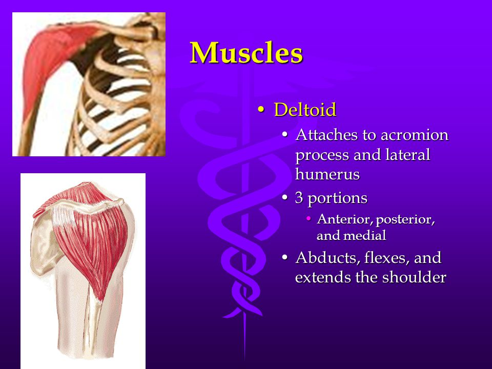 Muscles DeltoidDeltoid Attaches to acromion process and lateral humerus 3 portions Anterior, posterior, and medial Abducts, flexes, and extends the shoulder