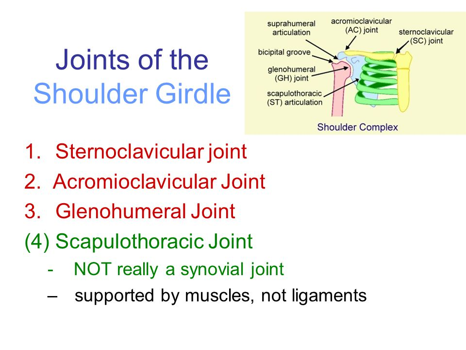 Joints of the Shoulder Girdle 1.Sternoclavicular joint 2. Acromioclavicular Joint 3.Glenohumeral Joint (4) Scapulothoracic Joint - NOT really a synovi