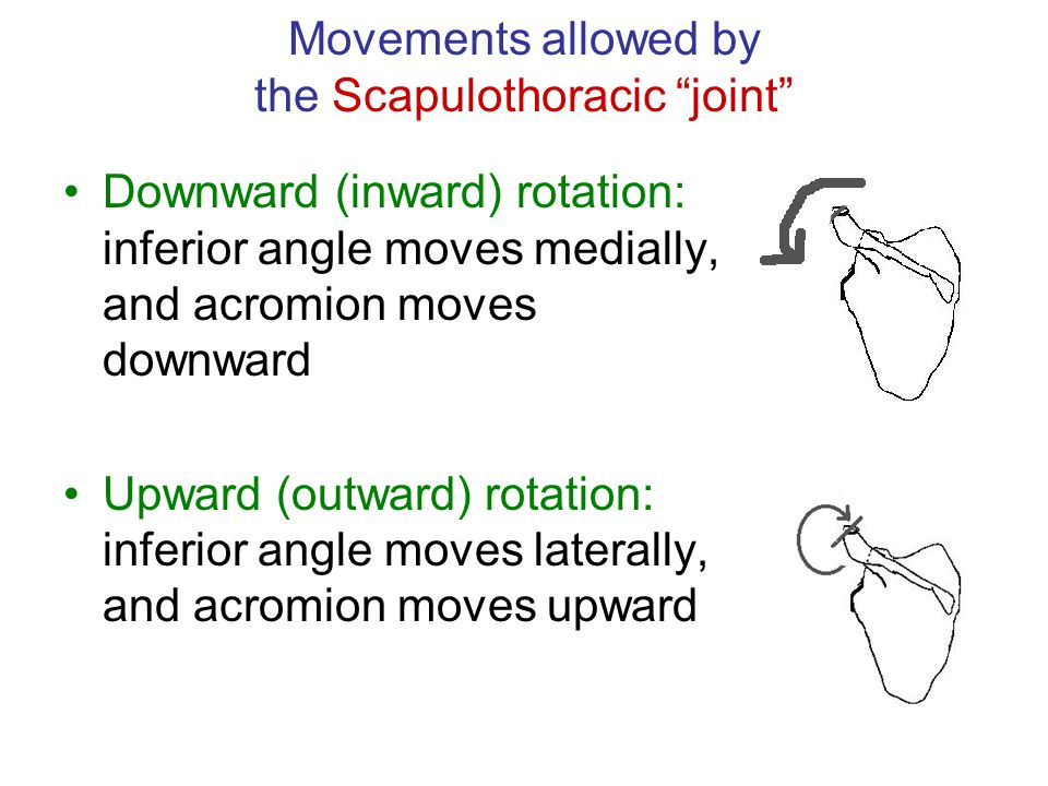 "Movements allowed by the Scapulothoracic ""joint"" Downward (inward) rotation: inferior angle moves medially, and acromion moves downward Upward (outwar"