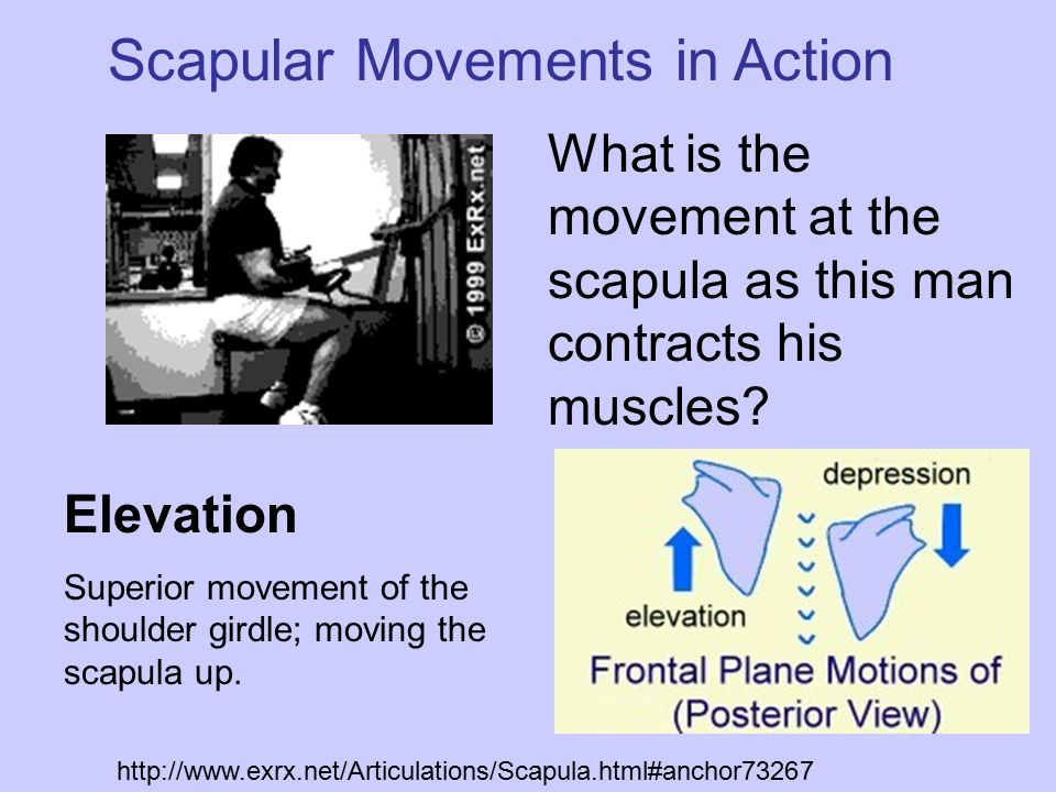 Elevation Superior movement of the shoulder girdle; moving the scapula up. Scapular Movements in Action http://www.exrx.net/Articulations/Scapula.html