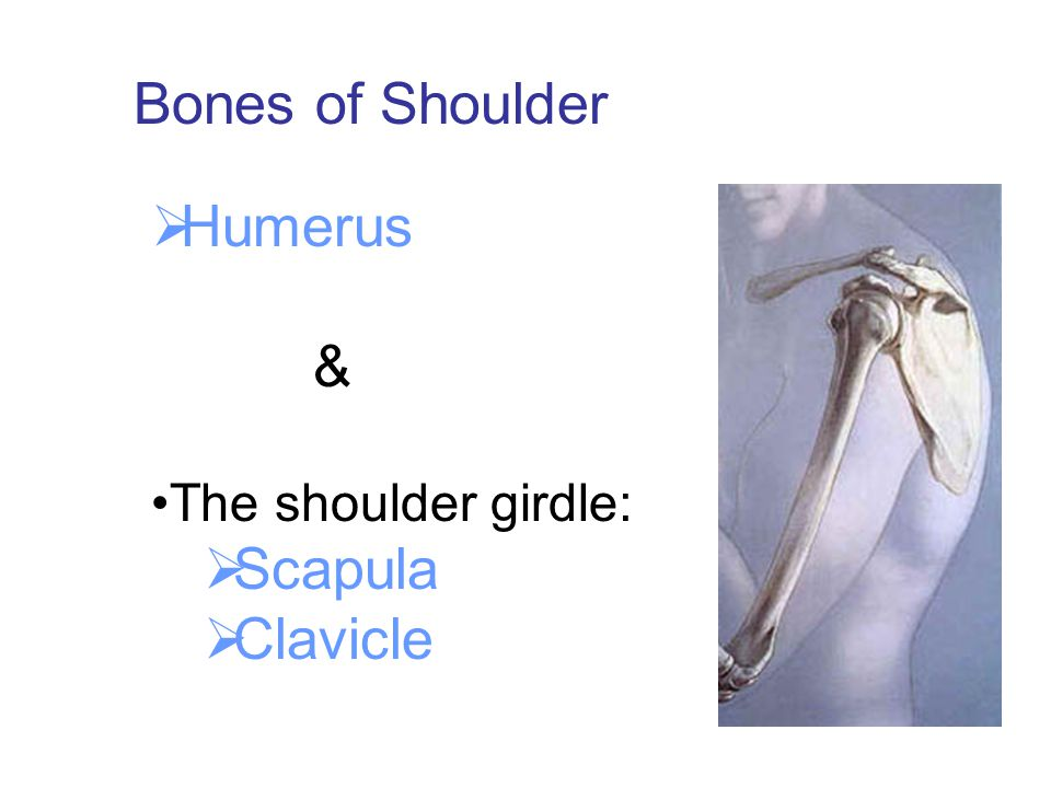  Humerus & The shoulder girdle:  Scapula  Clavicle Bones of Shoulder