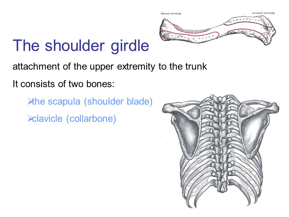 The shoulder girdle attachment of the upper extremity to the trunk It consists of two bones:  the scapula (shoulder blade)  clavicle (collarbone)