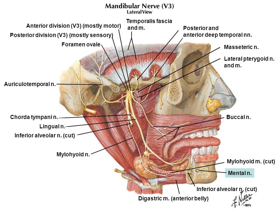 Temporalis fascia and m. Anterior division (V3) (mostly motor) Posterior division (V3) (mostly sensory) Foramen ovale Auriculotemporal n. Inferior alv