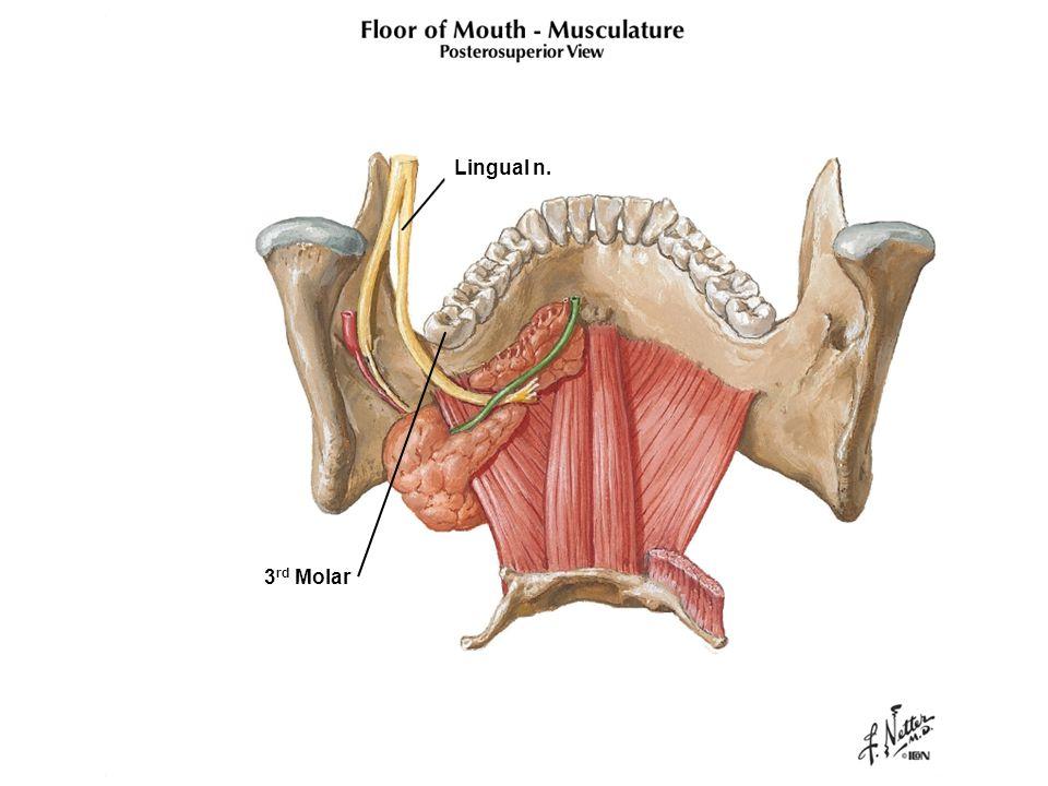 Lingual n. 3 rd Molar