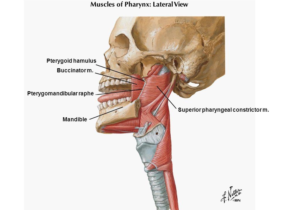 Superior pharyngeal constrictor m. Pterygoid hamulus Buccinator m. Pterygomandibular raphe Mandible