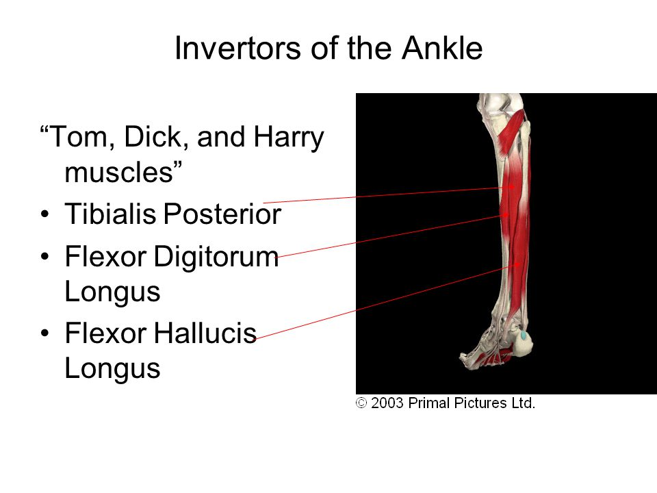 Invertors of the Ankle Tom, Dick, and Harry muscles Tibialis Posterior Flexor Digitorum Longus Flexor Hallucis Longus