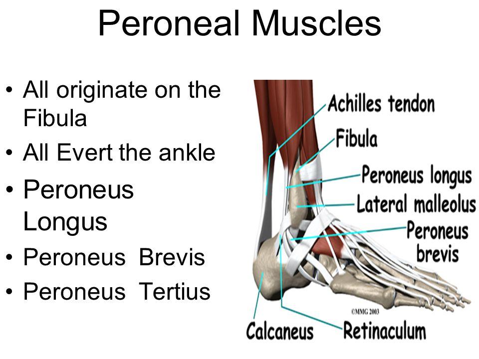Peroneal Muscles All originate on the Fibula All Evert the ankle Peroneus Longus Peroneus Brevis Peroneus Tertius