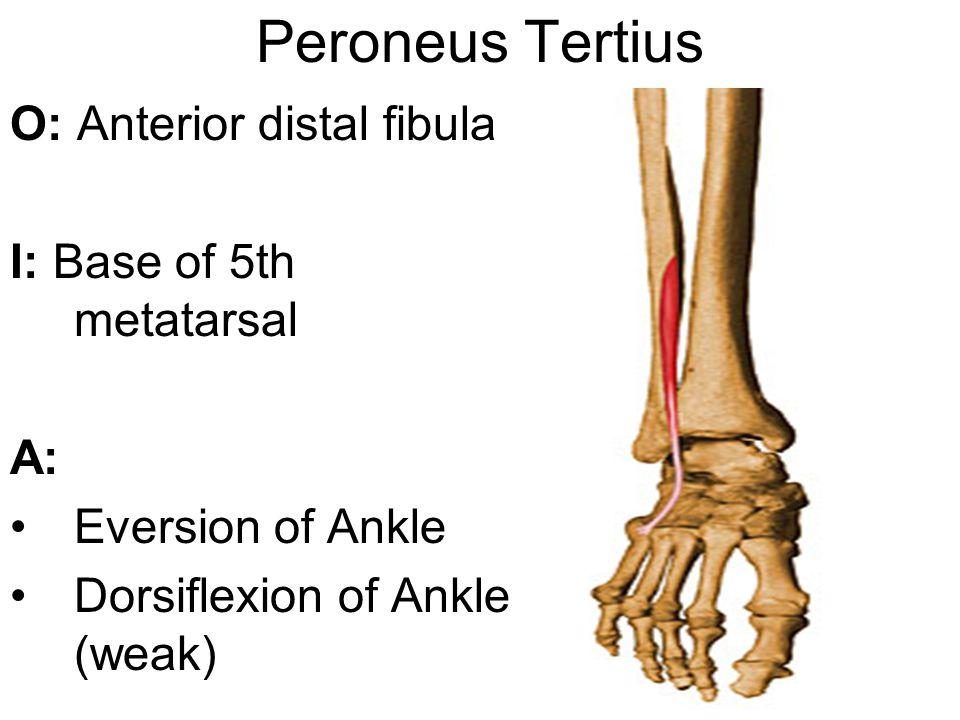Peroneus Tertius O: Anterior distal fibula I: Base of 5th metatarsal A: Eversion of Ankle Dorsiflexion of Ankle (weak)