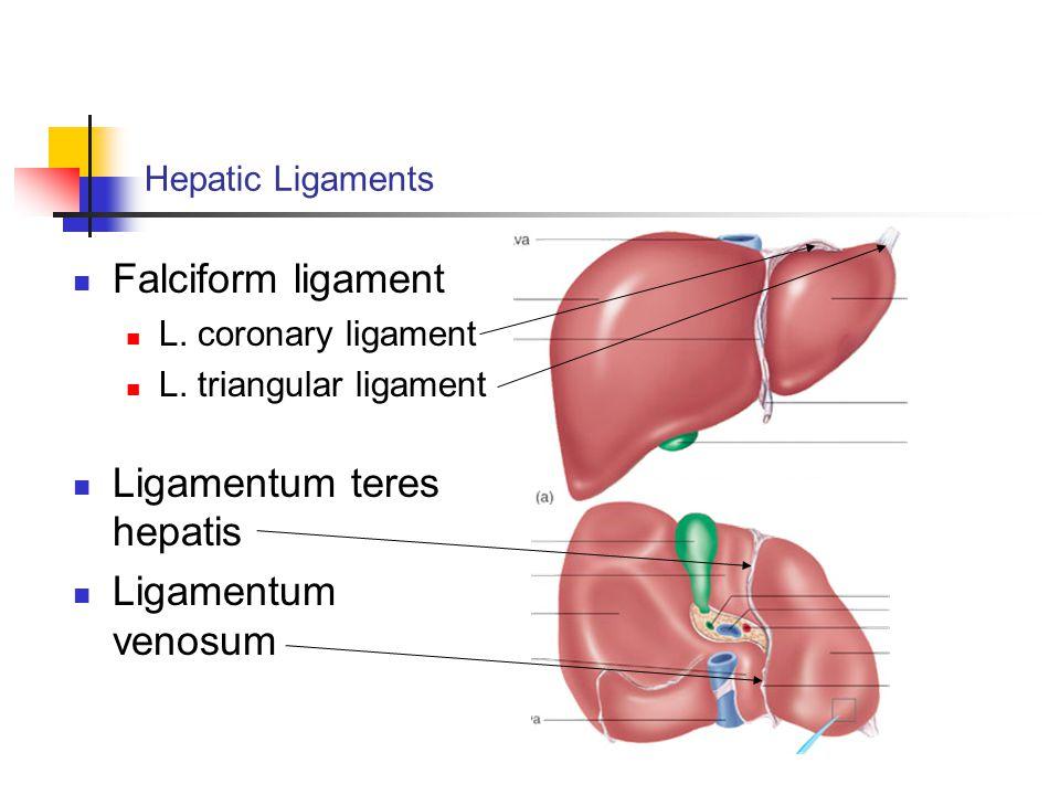 Hepatic Ligaments Falciform ligament L.coronary ligament L.