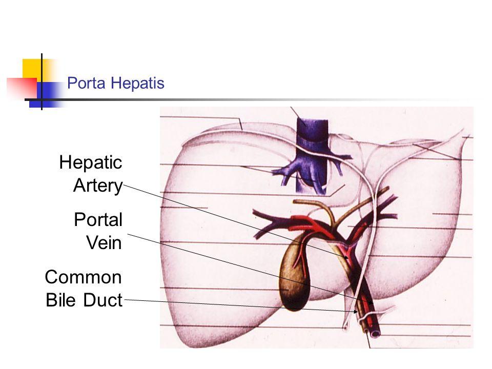 Porta Hepatis Hepatic Artery Portal Vein Common Bile Duct