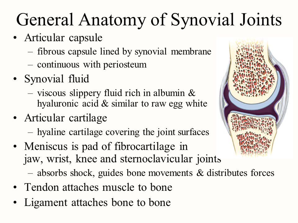 General Anatomy of Synovial Joints Articular capsule –fibrous capsule lined by synovial membrane –continuous with periosteum Synovial fluid –viscous s
