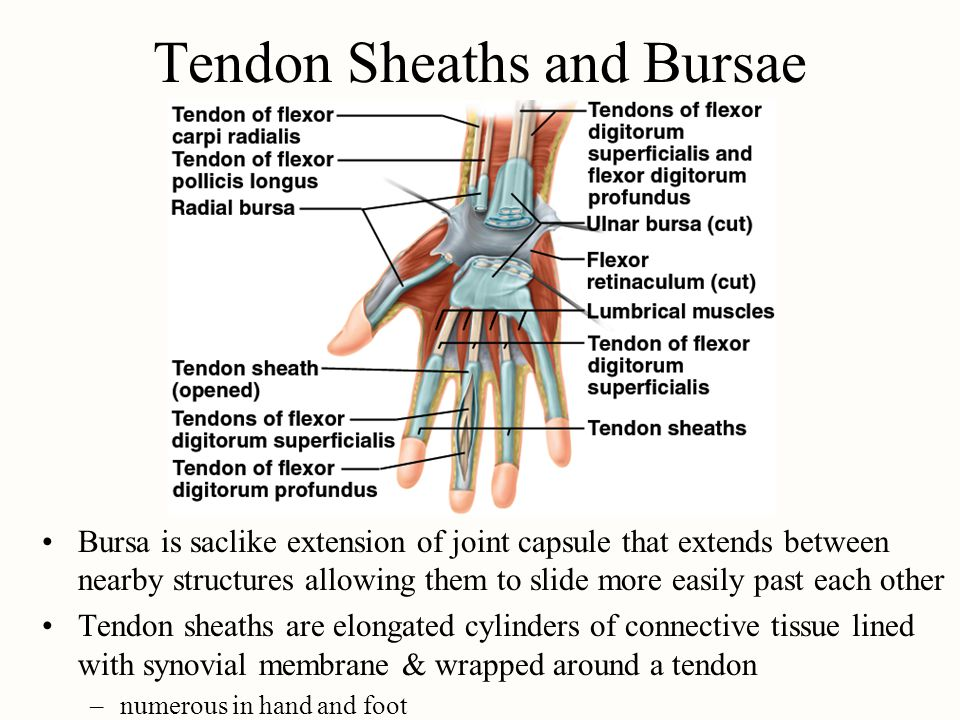 Tendon Sheaths and Bursae Bursa is saclike extension of joint capsule that extends between nearby structures allowing them to slide more easily past e