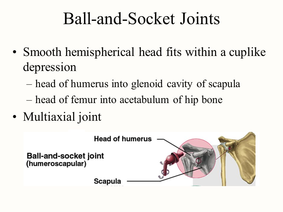 Ball-and-Socket Joints Smooth hemispherical head fits within a cuplike depression –head of humerus into glenoid cavity of scapula –head of femur into