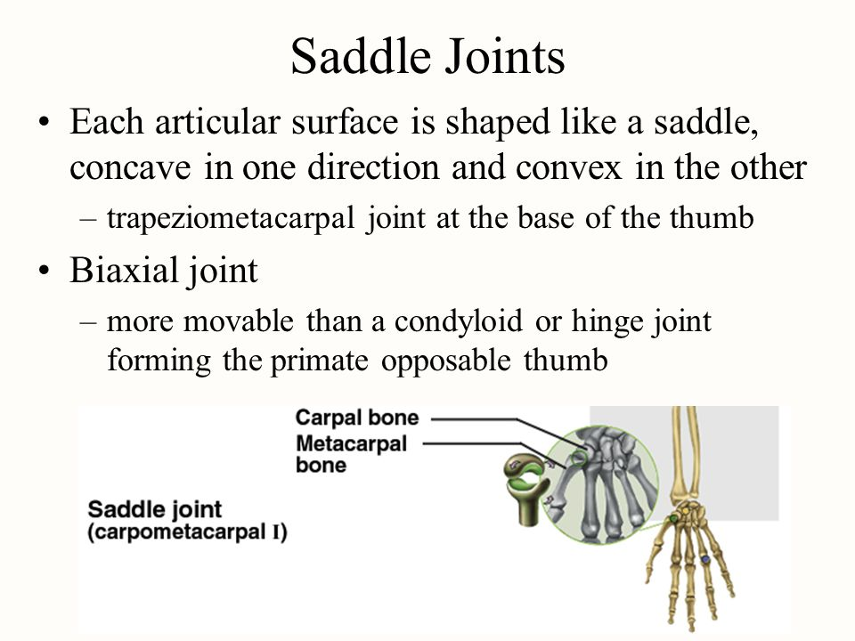 Saddle Joints Each articular surface is shaped like a saddle, concave in one direction and convex in the other –trapeziometacarpal joint at the base o