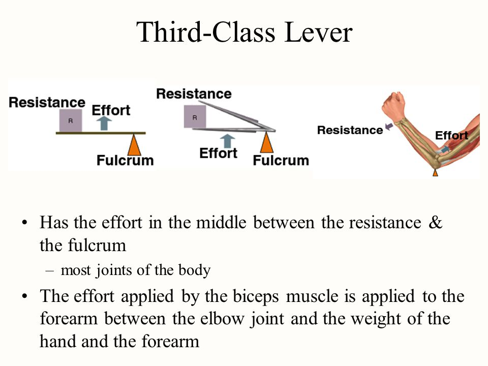 Third-Class Lever Has the effort in the middle between the resistance & the fulcrum –most joints of the body The effort applied by the biceps muscle i