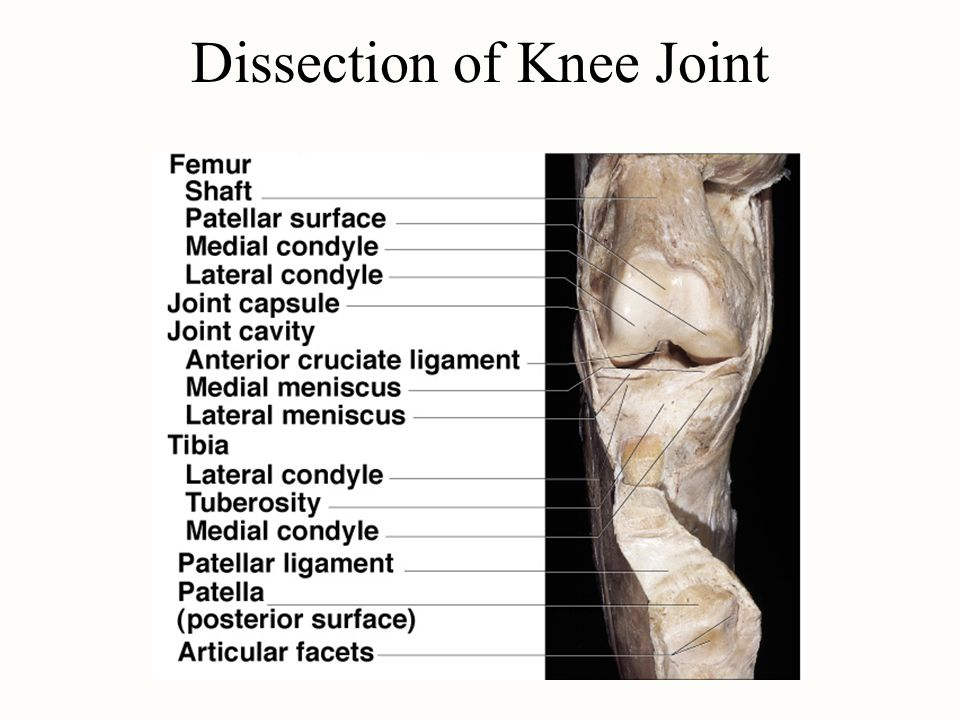 Dissection of Knee Joint