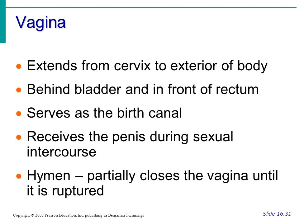 Vagina Slide 16.31 Copyright © 2003 Pearson Education, Inc. publishing as Benjamin Cummings  Extends from cervix to exterior of body  Behind bladder