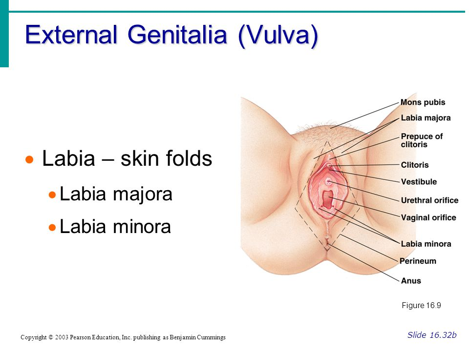 External Genitalia (Vulva) Slide 16.32b Copyright © 2003 Pearson Education, Inc. publishing as Benjamin Cummings  Labia – skin folds  Labia majora 