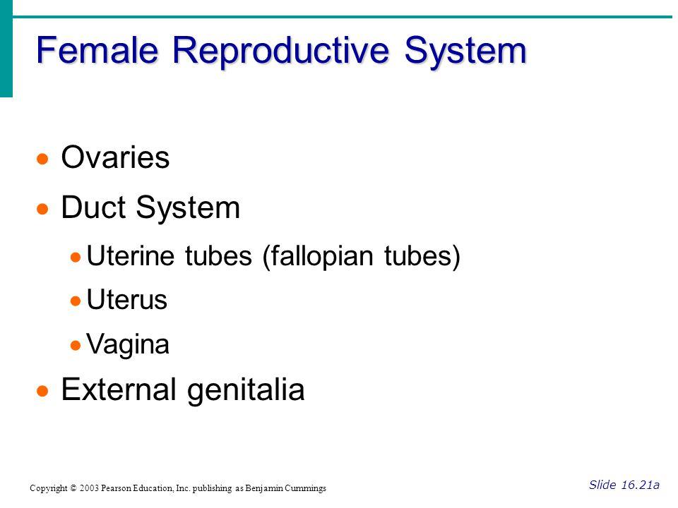 Female Reproductive System Slide 16.21b Copyright © 2003 Pearson Education, Inc.