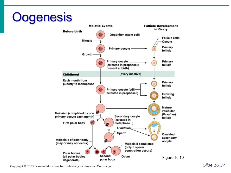 Oogenesis Slide 16.37 Copyright © 2003 Pearson Education, Inc. publishing as Benjamin Cummings Figure 16.10