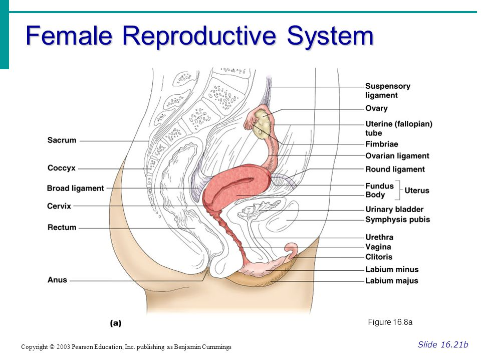 Ovaries Slide 16.22 Copyright © 2003 Pearson Education, Inc.