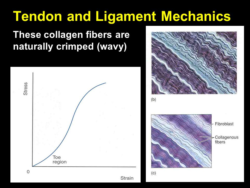 These collagen fibers are naturally crimped (wavy) Tendon and Ligament Mechanics