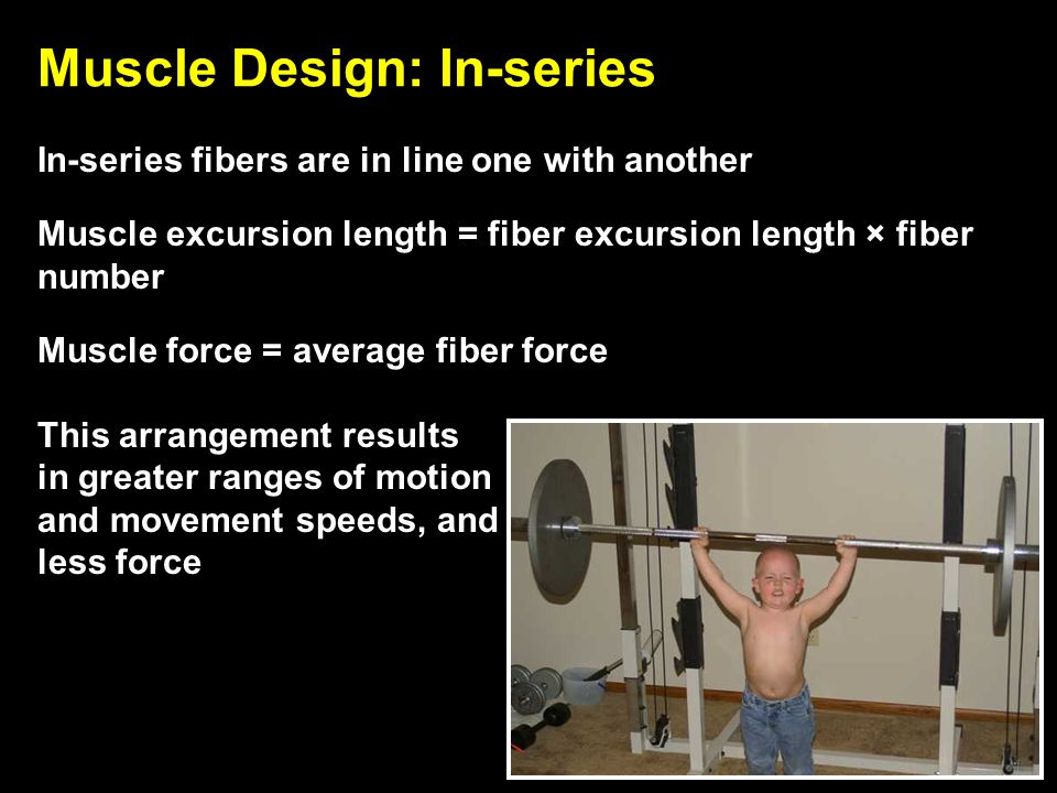 Muscle Design: In-series In-series fibers are in line one with another Muscle excursion length = fiber excursion length × fiber number Muscle force =