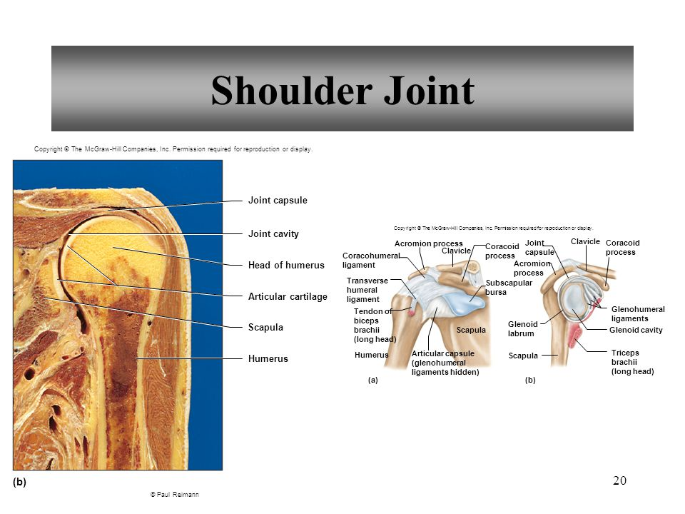 20 Shoulder Joint Copyright © The McGraw-Hill Companies, Inc.